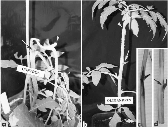 epiderma u roślin