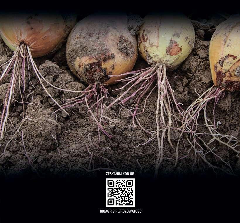 niedobór fosforu u roślin