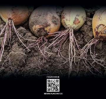Program uprawy cebuli.