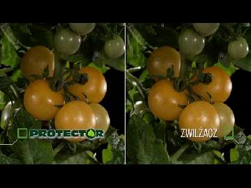 cięcie pomidorów