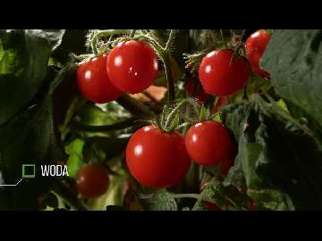 czarne muszki na pomidorach