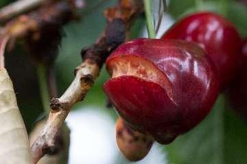 czereśnia choroby liści