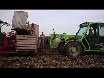 Buraki czerwone zbiory 2015. 100 ton z hektara.