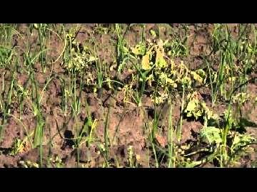 ślimacznica