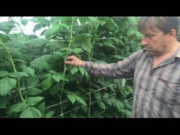 czarne liście malin