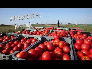 choroby pomidorów forum