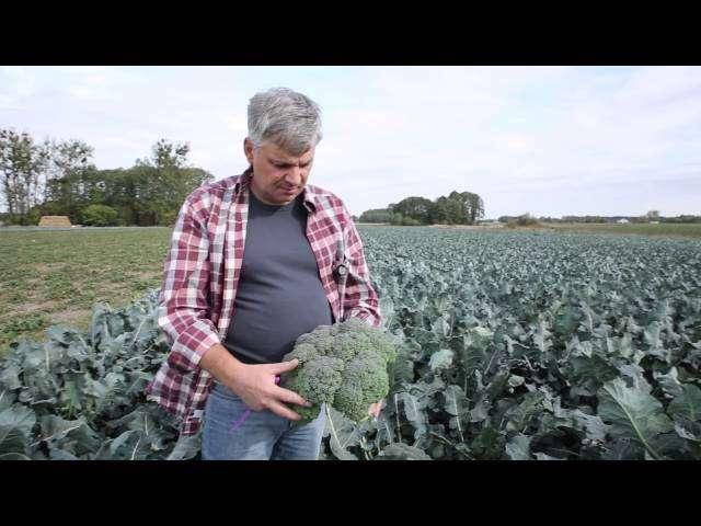 nowe odmiany brokuła