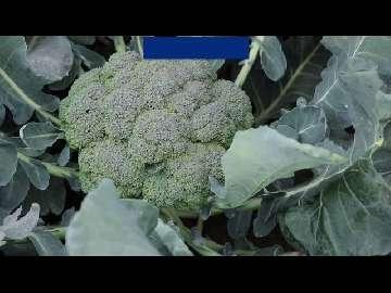 ochrona brokuł