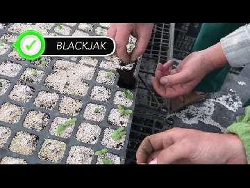 jak sadzić ogorki