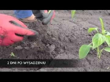 jak chronić truskawki przed przymrozkami