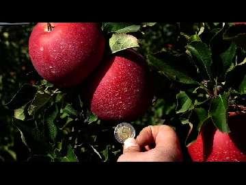 odmiany jabloni
