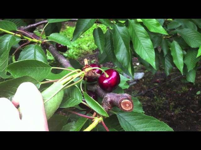brunatna zgnilizna wiśni