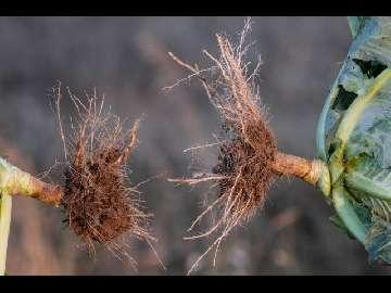 larwa drutowca