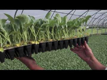 kalafior odmiany