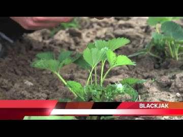 Stymulacja rozwoju truskawki