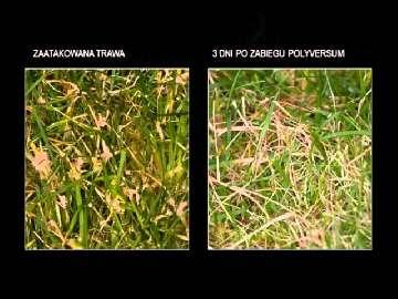 Prezentacja szkoleniowa na temat środków ochrony trawników pól golfowych.