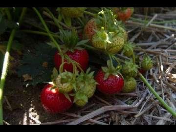 uprawa truskawki deserowej - jakość i smak