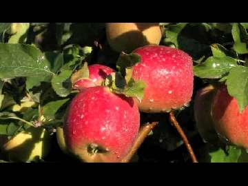 biała pleśń na jabłoni