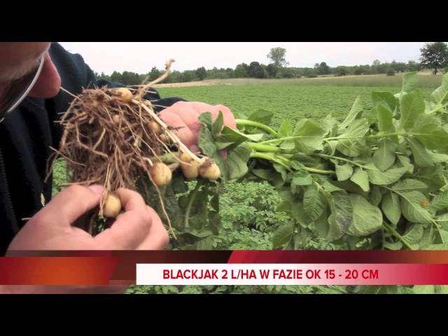 opryski na szarą pleśń w truskawkach