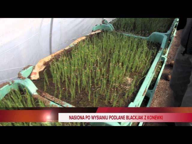 Rozsada warzyw zima 2013