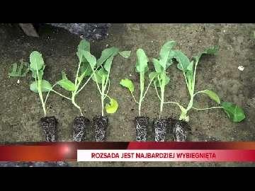 siewnik do warzyw